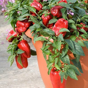 how-to-grow-bell-pepper-in-pots